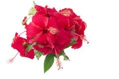 Η κόκκινη «Κίνα αυξήθηκε» λουλούδια Στοκ Φωτογραφία