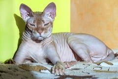 Η κόκκινη καναδική γάτα Sphynx βρίσκεται στο ηλιόλουστο μέρος της κουβέρτας στοκ φωτογραφία