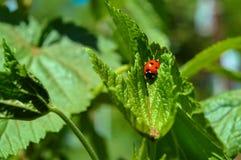 Η κόκκινη λαμπρίτσα εντόμων κάθεται σε ένα πράσινο φύλλο Στοκ Φωτογραφίες