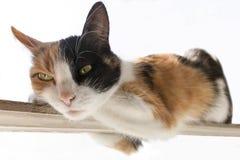 Η κόκκινη, μαύρη, άσπρη γάτα τρεις-χρώματος βρίσκεται σε ένα στενό ραβδί Άσπρη ανασκόπηση στοκ εικόνα με δικαίωμα ελεύθερης χρήσης