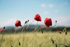 Η κόκκινη παπαρούνα τρία ανθίζει με τα λεπτά πόδια, μικροί μίσχοι στα πλαίσια του σαφούς μπλε ουρανού άνοιξη στοκ εικόνα