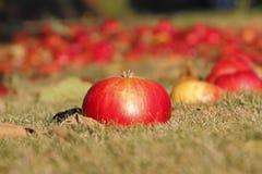 Η κόκκινη πεσμένη Apple Στοκ Φωτογραφία