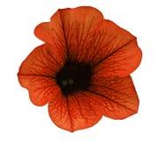 Η κόκκινη πετούνια λουλουδιών σε ένα λευκό απομόνωσε το υπόβαθρο με το ψαλίδισμα της πορείας καμία σκιά closeup Για το σχέδιο, σύ Στοκ Εικόνες