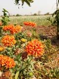 Η κόκκινη πορτοκαλιά Jasmine Στοκ Εικόνες