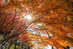 Η κόκκινη σήραγγα φύλλων σφενδάμου με το φως του ήλιου λάμπει Στοκ Εικόνα