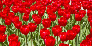 Η κόκκινη τουλίπα ανθίζει την άνοιξη Στοκ Εικόνες