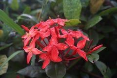 Η κόκκινη των Αντιλλών Jasmine Ποικιλίες Ixora Ixora Chinensis στοκ φωτογραφίες με δικαίωμα ελεύθερης χρήσης