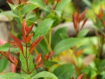 Η κόκκινη Χριστίνα Leaf στοκ εικόνες με δικαίωμα ελεύθερης χρήσης