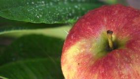 Η κόκκινη, ώριμη Apple που ποτίζεται φιλμ μικρού μήκους