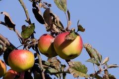 Η κόκκινη Apple στον κλάδο δέντρων Στοκ φωτογραφία με δικαίωμα ελεύθερης χρήσης