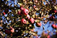 Η κόκκινη Apple στον κλάδο δέντρων Στοκ Εικόνες