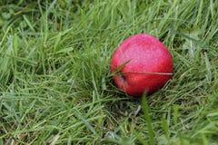 Η κόκκινη Apple στο έδαφος Στοκ φωτογραφία με δικαίωμα ελεύθερης χρήσης