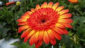 Η κόκκινη Daisy Στοκ εικόνες με δικαίωμα ελεύθερης χρήσης