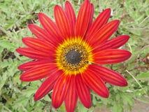 Η κόκκινη Daisy Στοκ φωτογραφία με δικαίωμα ελεύθερης χρήσης