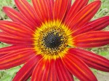 Η κόκκινη Daisy Στοκ φωτογραφίες με δικαίωμα ελεύθερης χρήσης