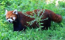 Η κόκκινη Panda ή η μικρότερη Panda Στοκ φωτογραφία με δικαίωμα ελεύθερης χρήσης