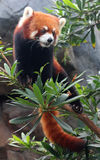 Η κόκκινη Panda ή η μικρότερη Panda Στοκ φωτογραφίες με δικαίωμα ελεύθερης χρήσης
