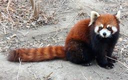 Η κόκκινη Panda ή η μικρότερη Panda Στοκ Φωτογραφίες