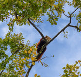 Η κόκκινη Panda που χαλαρώνει επάνω ένα δέντρο Στοκ Φωτογραφίες