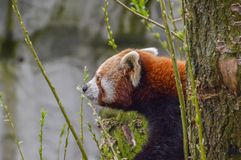Η κόκκινη Panda στο ζωολογικό κήπο Άμστερνταμ Artis οι Κάτω Χώρες Στοκ εικόνες με δικαίωμα ελεύθερης χρήσης