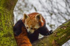 Η κόκκινη Panda στο ζωολογικό κήπο Άμστερνταμ Artis οι Κάτω Χώρες Στοκ Φωτογραφίες