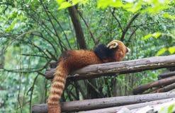 Η κόκκινη Panda στο ζωολογικό κήπο σε Chengdu, Κίνα Στοκ Εικόνα