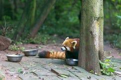 Η κόκκινη Panda στο ζωολογικό κήπο σε Chengdu, Κίνα Στοκ φωτογραφία με δικαίωμα ελεύθερης χρήσης