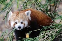 Η κόκκινη Panda Στοκ Εικόνες