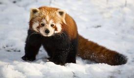 Η κόκκινη Panda Στοκ φωτογραφίες με δικαίωμα ελεύθερης χρήσης