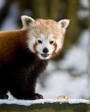 Η κόκκινη Panda Στοκ Φωτογραφίες