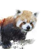 Η κόκκινη Panda Watercolor Στοκ Εικόνα