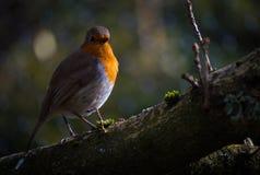Η κόκκινη Robin Στοκ εικόνες με δικαίωμα ελεύθερης χρήσης