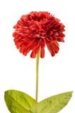 η κόκκινη Zinnia Στοκ φωτογραφία με δικαίωμα ελεύθερης χρήσης