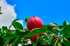 Η κόκκινοι Apple και μπλε ουρανός Στοκ εικόνες με δικαίωμα ελεύθερης χρήσης