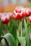 Η κόκκινος-άσπρη τουλίπα ι Στοκ Φωτογραφίες