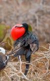 Η κόκκινος-διογκωμένη φρεγάτα κάθεται σε μια φωλιά τα Galapagos νησιά ηξών Ισημερινός στοκ εικόνες με δικαίωμα ελεύθερης χρήσης