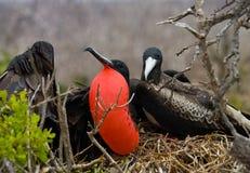 Η κόκκινος-διογκωμένη φρεγάτα κάθεται σε μια φωλιά τα Galapagos νησιά ηξών Ισημερινός στοκ φωτογραφία με δικαίωμα ελεύθερης χρήσης