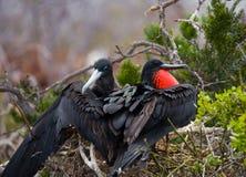 Η κόκκινος-διογκωμένη φρεγάτα κάθεται σε μια φωλιά τα Galapagos νησιά ηξών Ισημερινός στοκ φωτογραφίες