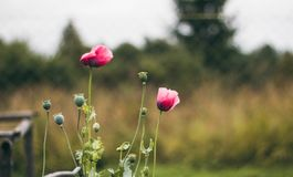 Η κόκκινος-ρόδινη παπαρούνα ανθίζει με τον πράσινο μίσχο στο υπόβαθρο του φράκτη στο χωριό Παπαρούνες το φθινόπωρο Όμορφα λουλούδ στοκ φωτογραφίες