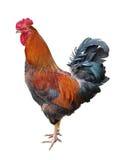 η κότα απομόνωσε το λευκό Στοκ Φωτογραφίες