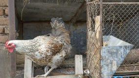 Η κότα αφήνει τη φωλιά απόθεμα βίντεο