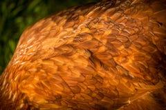 Η κότα επενδύει με φτερά τη λεπτομέρεια στοκ φωτογραφία με δικαίωμα ελεύθερης χρήσης