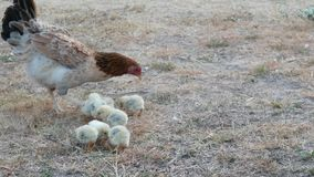 Η κότα με τους νεοσσούς βρίσκει τα τρόφιμα φιλμ μικρού μήκους