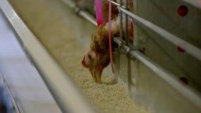 Η κότα ραμφίζει την τροφή απόθεμα βίντεο