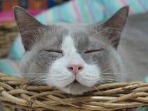 Η κλειστή επάνω γκρίζα γάτα κοιμάται στο καλάθι Στοκ Φωτογραφίες