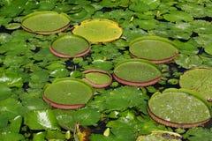 η λίμνη αφήνει lilly το ύδωρ λωτ&omicr Στοκ Εικόνες