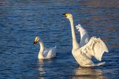 Η λίμνη κύκνων τραγουδά τα πουλιά ζευγών Στοκ φωτογραφία με δικαίωμα ελεύθερης χρήσης