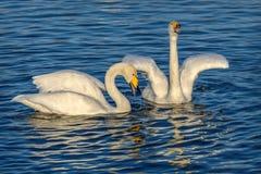 Η λίμνη κύκνων τραγουδά τα πουλιά ζευγών Στοκ Εικόνες