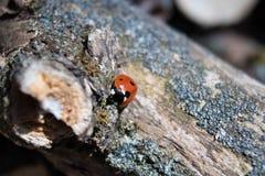 Η λαμπρίτσα σέρνεται σε ένα ξηρό δέντρο Στοκ Εικόνες