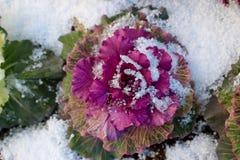 Η λαχανώδης κράμβη που ανθίζει το Kale, διακοσμητικό λάχανο στο χιόνι στοκ εικόνες